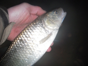 Returning my first chub of the year