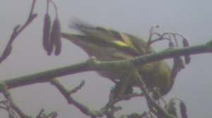 A siskin feeding in the mist