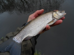 The smallest chub of the week
