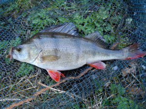 A canal perch caught on worm