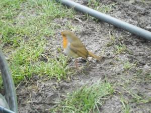 A friendly robin