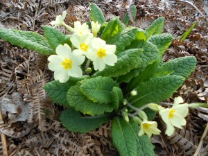 A solitary clump of primrose