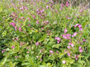 In with the red campion