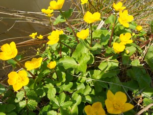 Marsh marigold in pool-side bloom