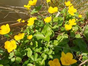 Marsh marigold in pool-side bloom