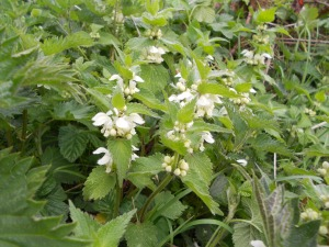 White dead-nettle in full bloom