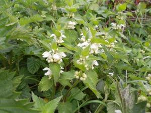 White dead-nettle in full bloom