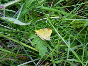 I rescued a brimstone moth