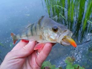 A greedy lake perch