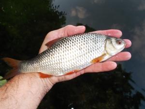 Just the one stillwater roach