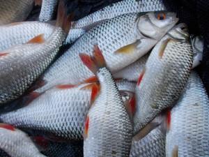 A few fish in the net