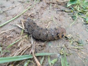 An Elephant Hawk-Moth caterpillar