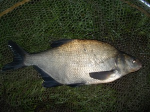 No chub but plenty of bream