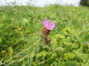 The common knapweed