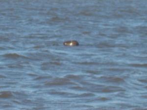 A seal in my swim