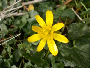 One of our early flowering plants - Lesser celandine