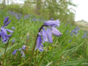 Bluebell in bloom