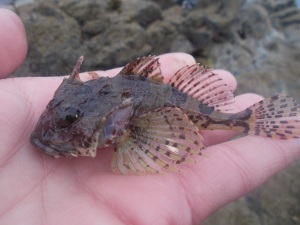 A sea scorpion, quite an amazing looking fish