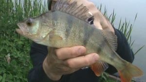 I love spinning for perch