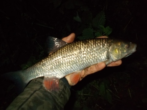 The very first fish of the new season, a small chub