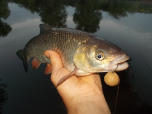 A greedy lower Severn chub and a 20mm boilie