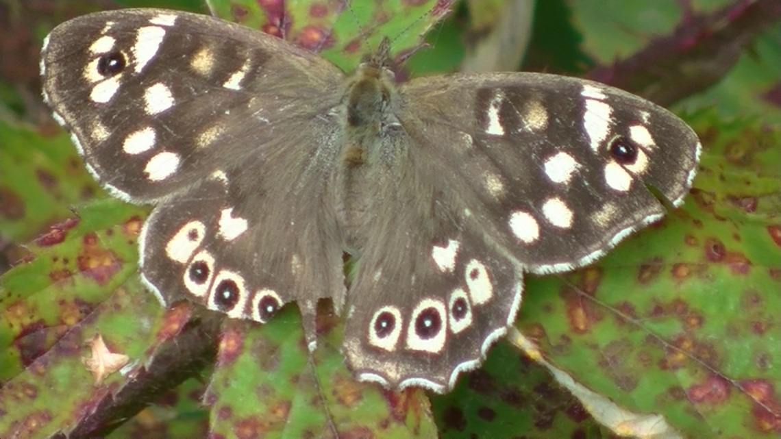 Up close and personal with a speckled wood