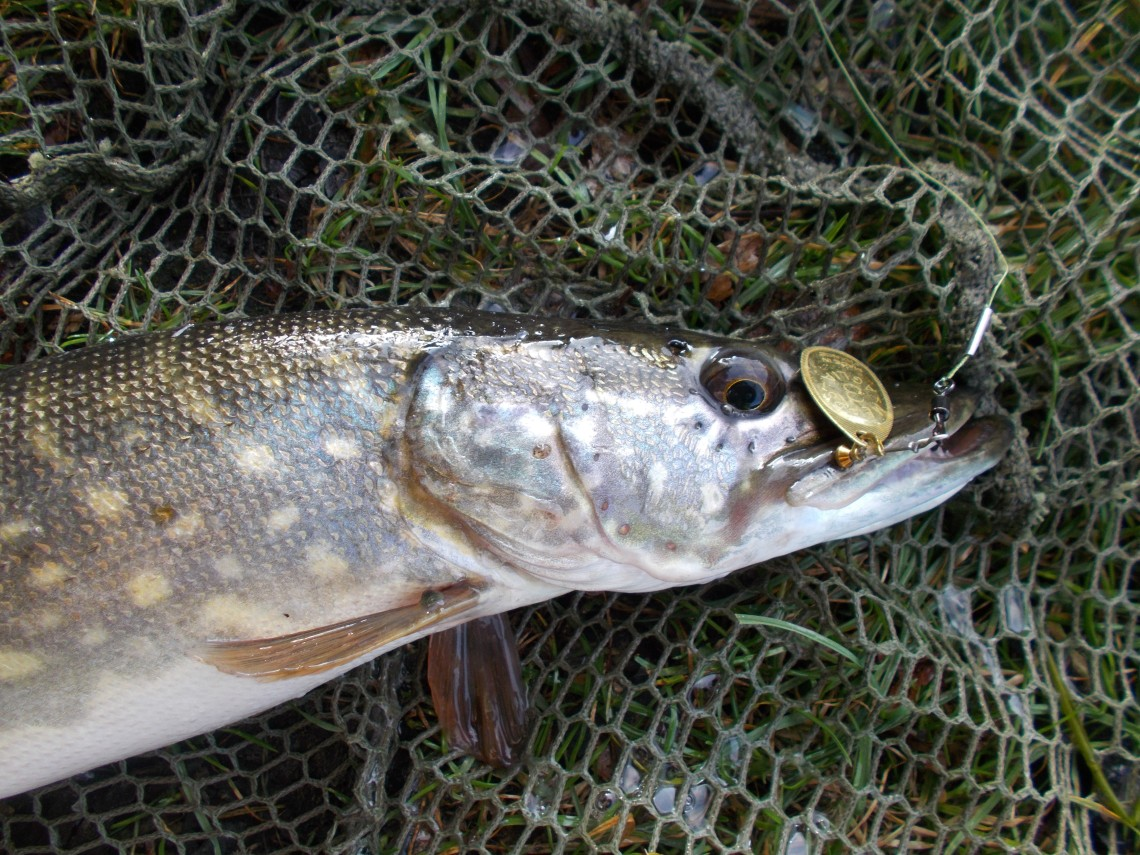 When spinning for perch you often pick up a pike