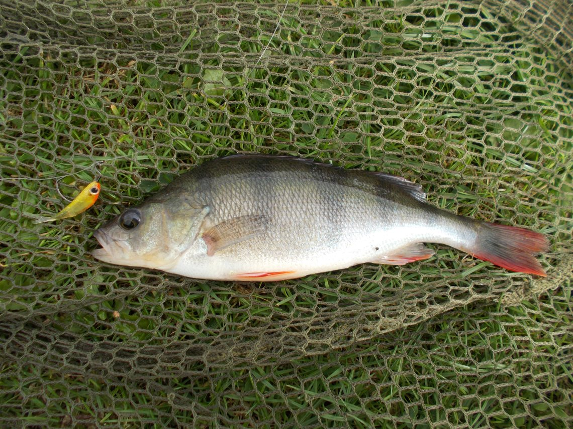 A drop-shot caught perch on the bank