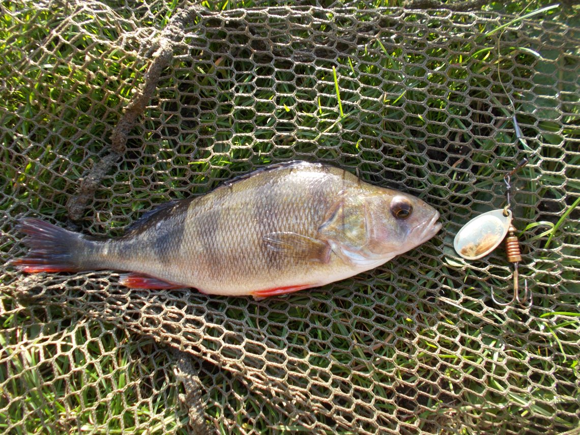 Perch on spinner from the Black Country