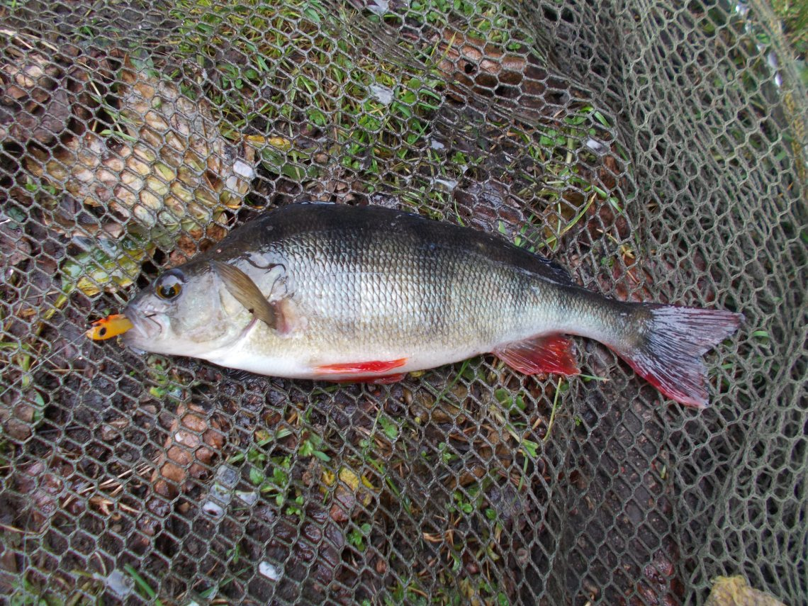 A Black Country canal perch on the bank