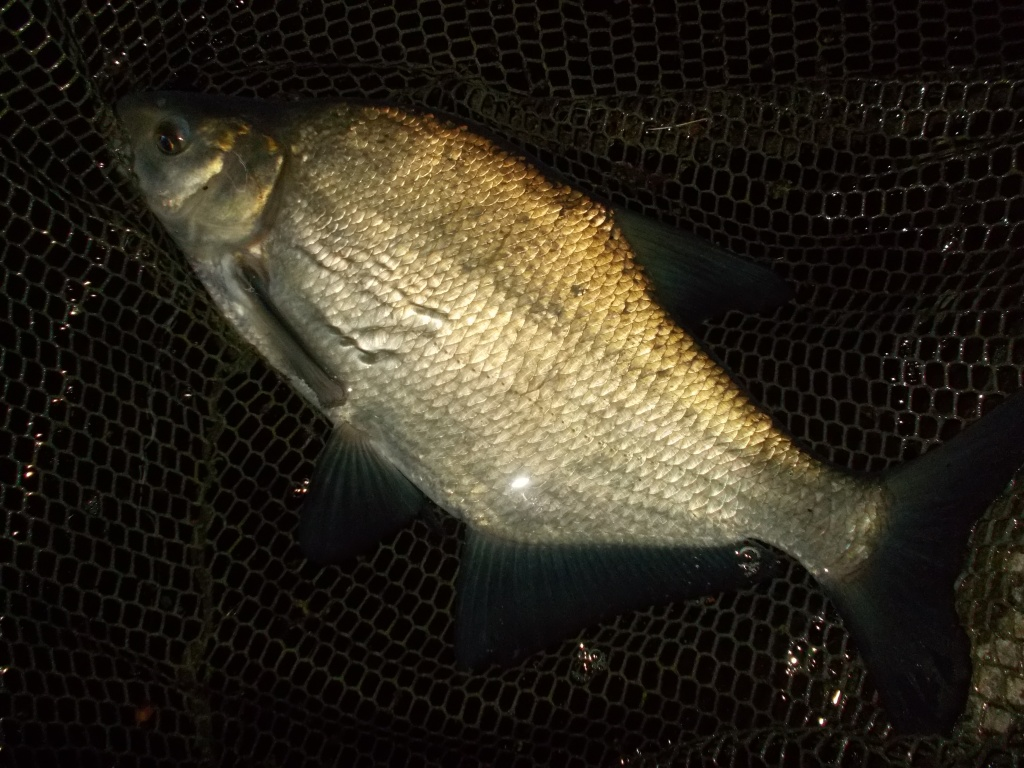 A bream in the net waiting to go back