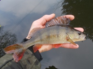 Returning a small perch to the canal