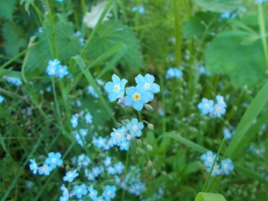 Forget-me-nots in the hedgerow