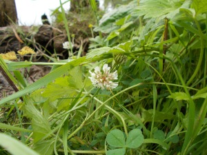 Bankside clover in bloom