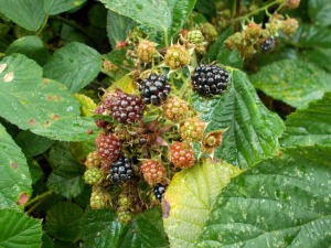 The signs of late summer in the hedgerow