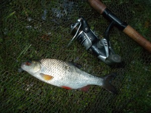 A nice canal roach on the bank