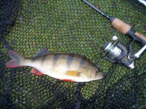 A chunky perch on the bank