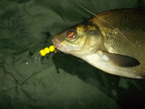 A bream that took three corn-shaped poppers