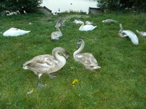 A resting group of mute swans