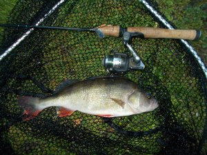 Caught on a Mepps Aglia Comet size 3