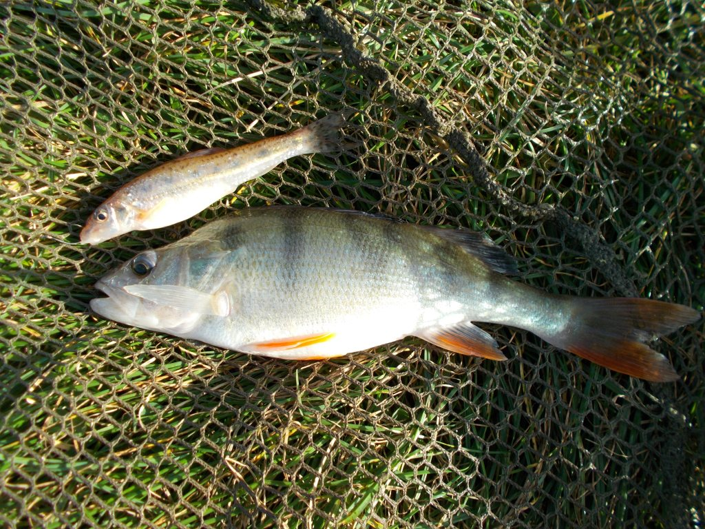 A nice perch but still a decent gudgeon