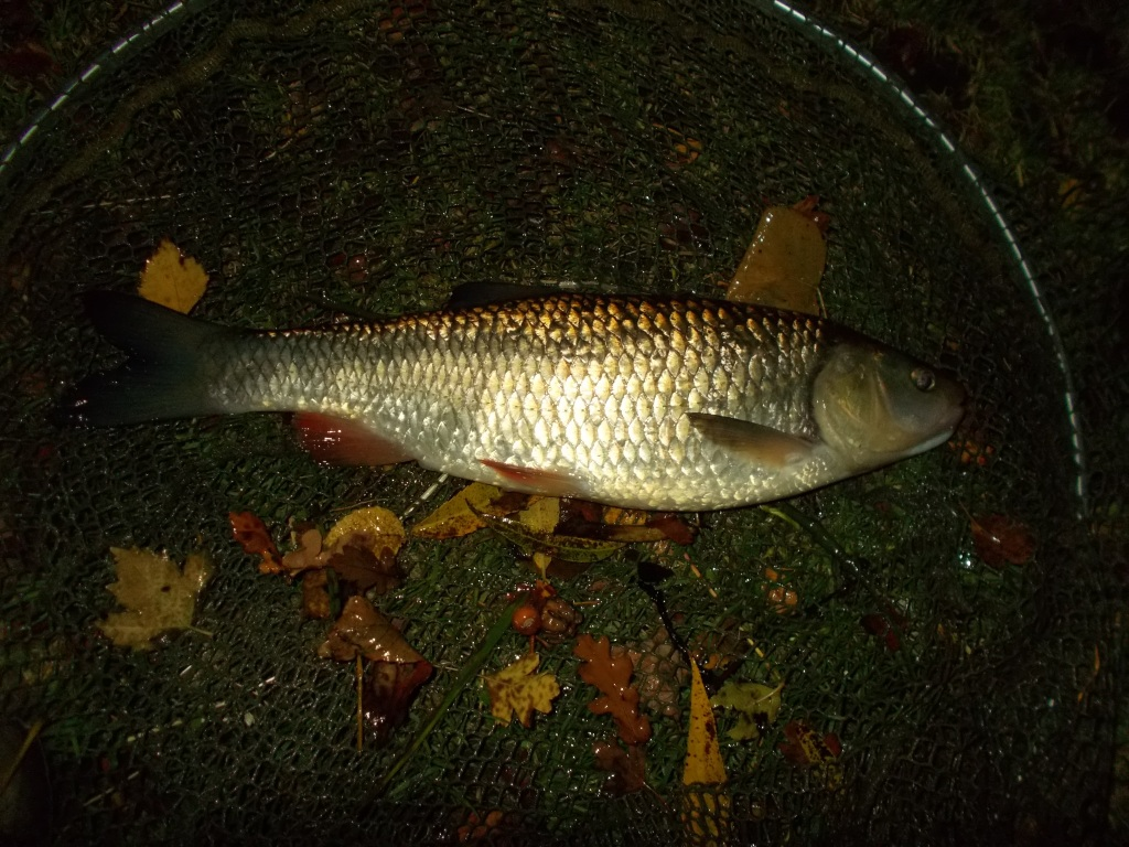 The final fish on the bank was a chub