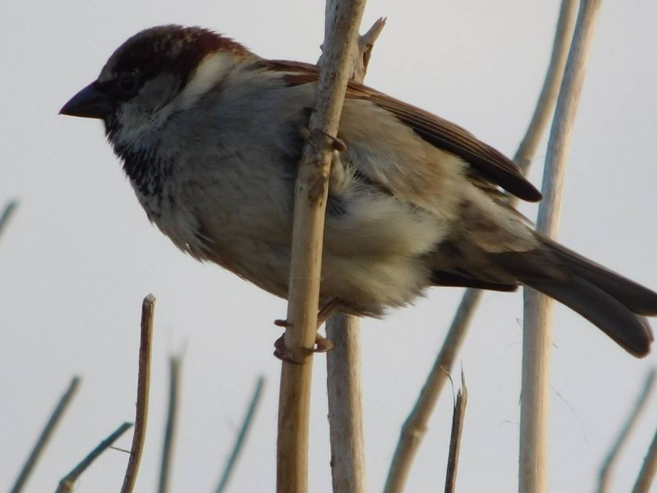 A male house sparrow