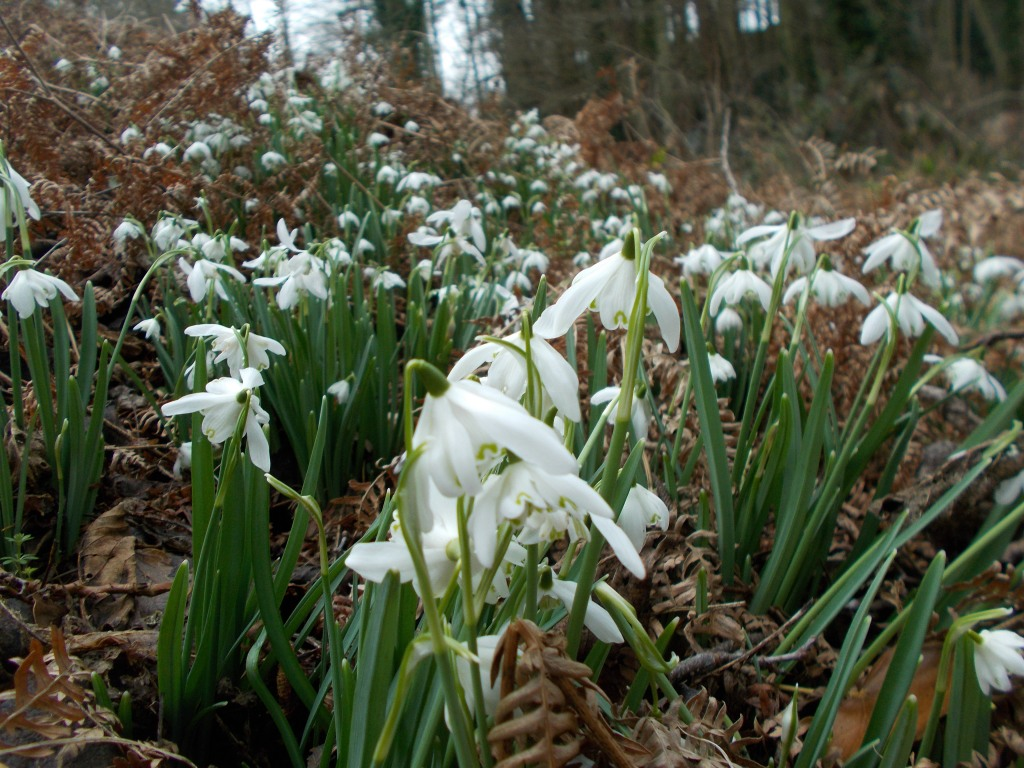 A bank of snowdrops behind the swim