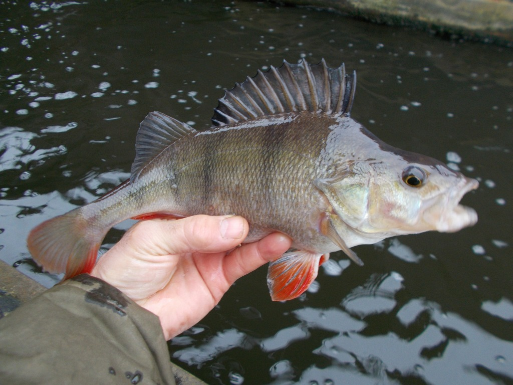 Some nice perch in the canal