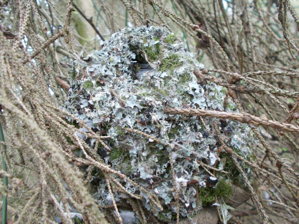 An old long-tailed tit nest