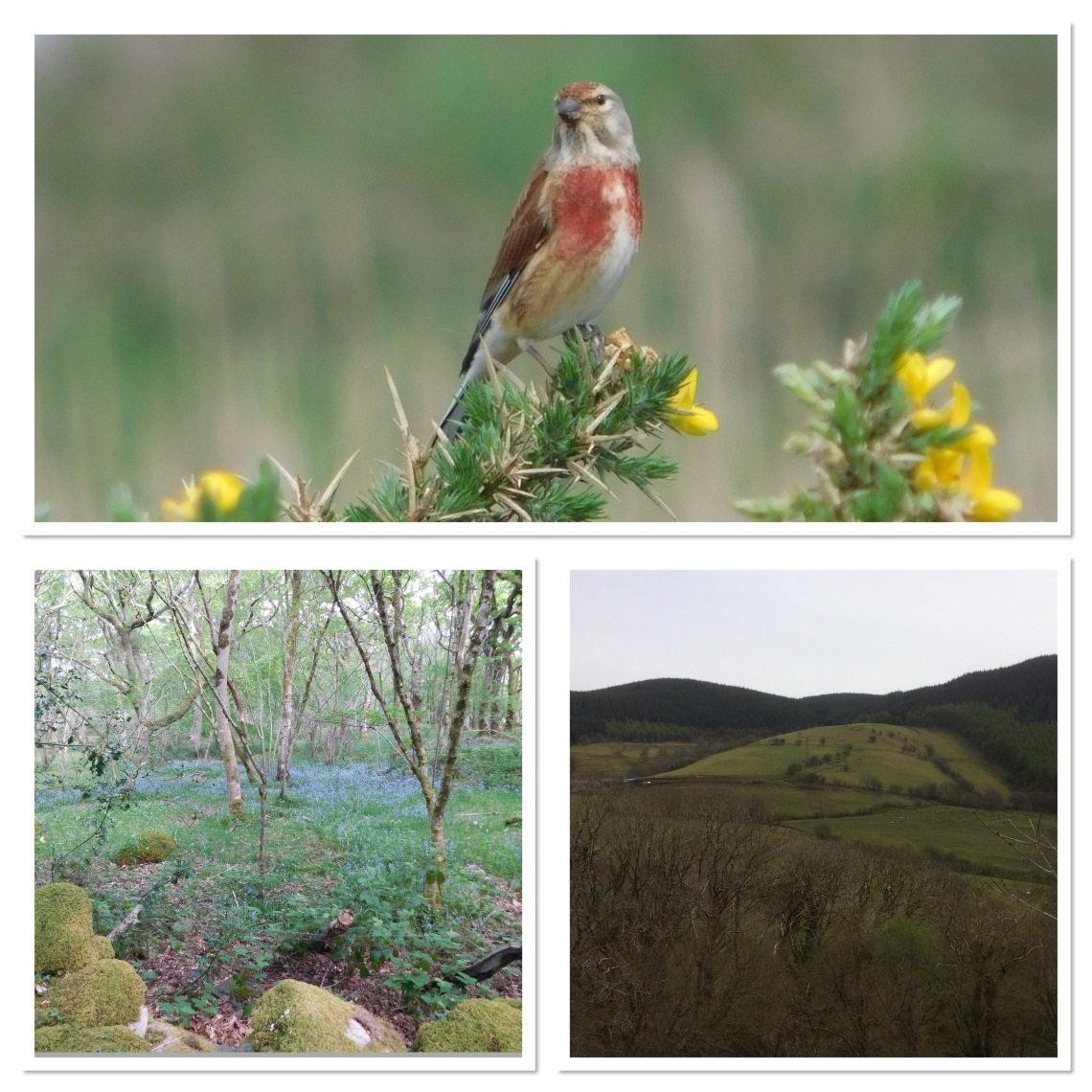 Male linnet and views from Coed Garth Gell