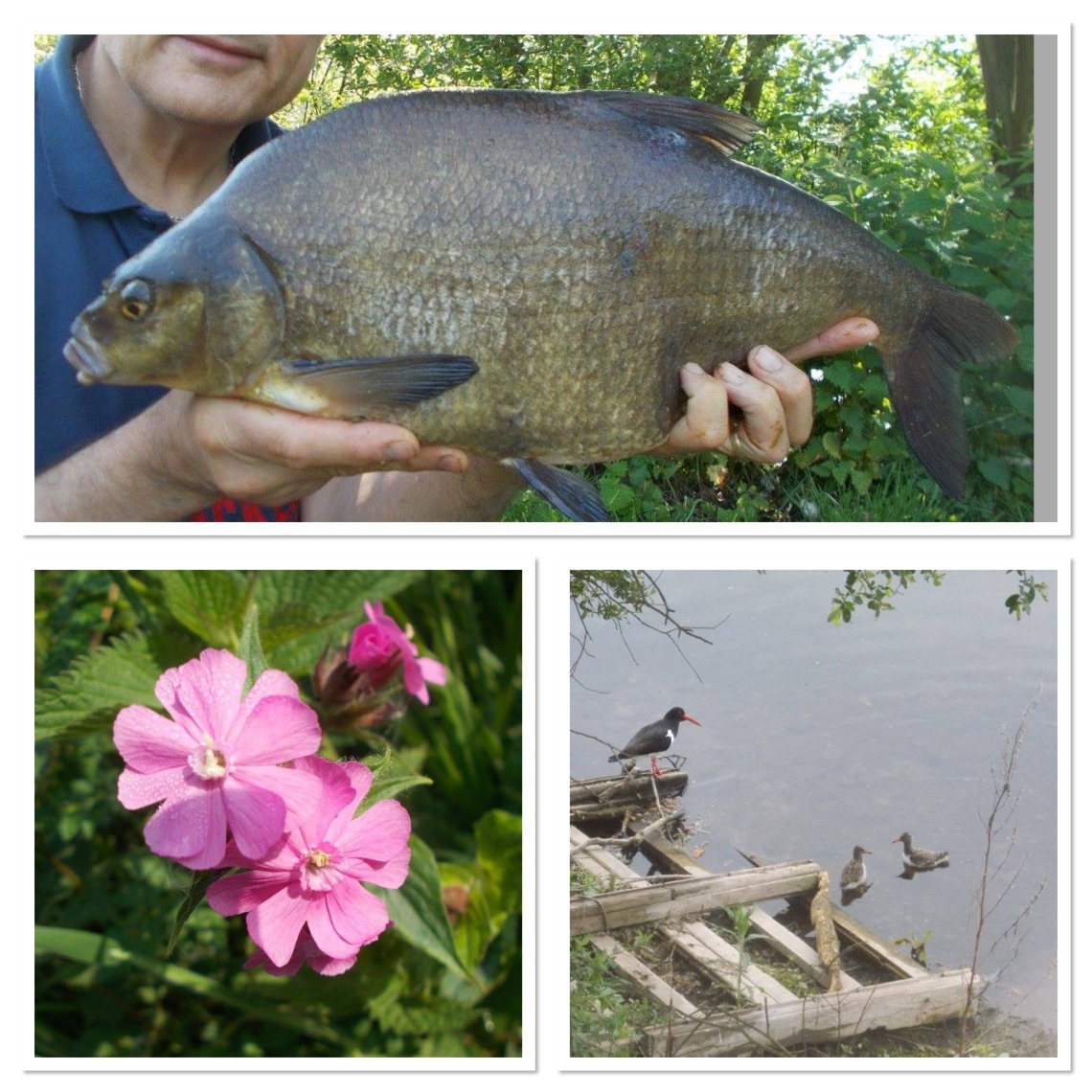 Red campion, oystercatcher and the final bream