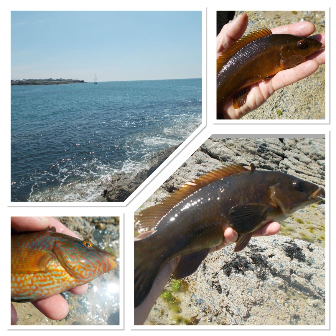 Lots of wrasse from the Anglesey rocks