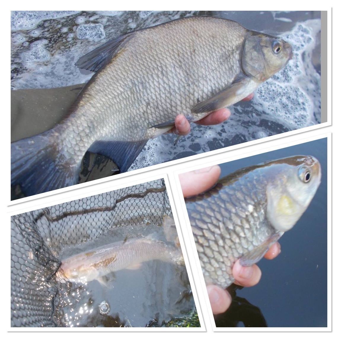 I also caught bream and chub this week